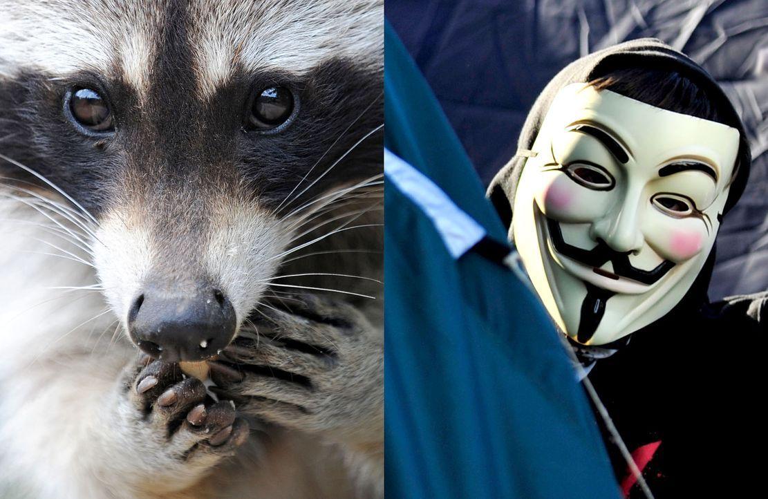 waschbär-hacker-dpa-getty-AFP - Bildquelle: dpa