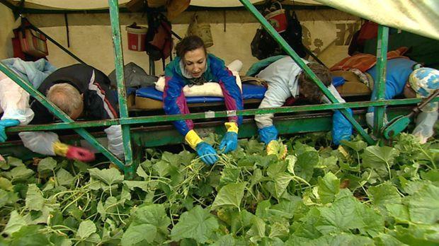 40 Saisonarbeiter, bäuchlings auf dem Gurkenflieger - so werden die berühmten...