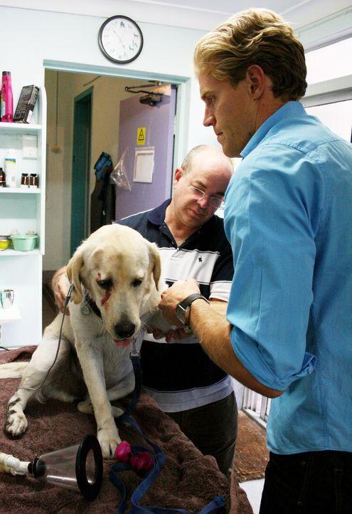 Heute kümmert sich das Team um Tierarzt Dr. Brown (r.) um einen Labrador, der bei einem Autounfall am Kopf verwundet wurde. - Bildquelle: WTFN Entertainment