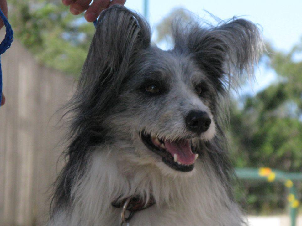 Wird es Cesar Millan auch in Australien gelingen die Hunde von  kleinen und großen Neurosen zu befreien? - Bildquelle: 2014 Rive Gauche Television. All rights reserved.