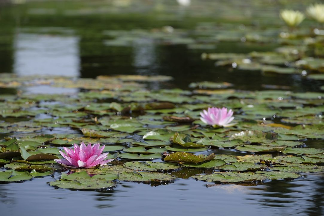 water-lilies-2663204_1920