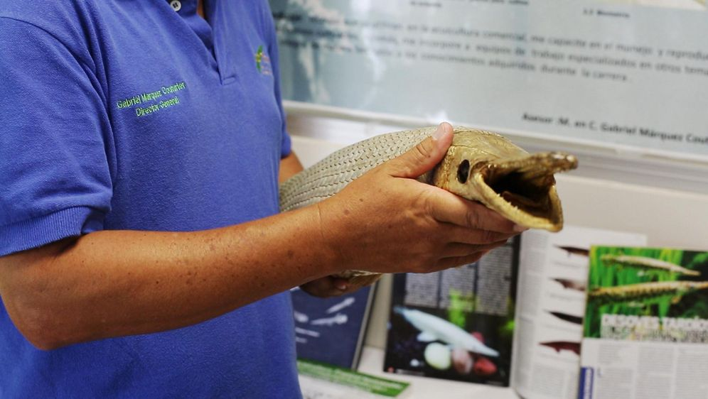 Bildgeschichte - Alligatorfisch