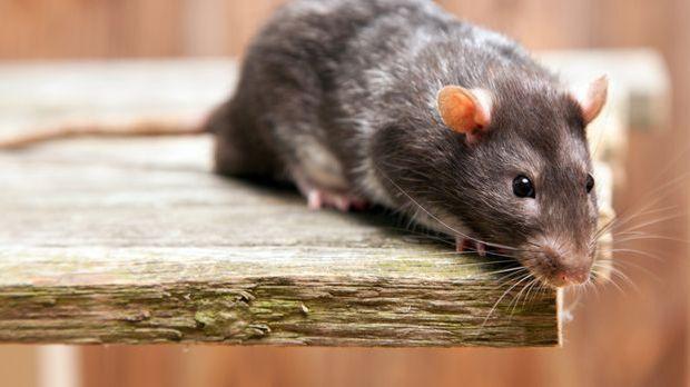 Was sagt das chinesische Horoskop 2016 für die Ratte voraus und welche Eigens...