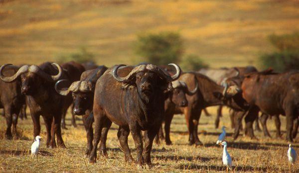 Büffelgruppe - Bildquelle: Richard Gress