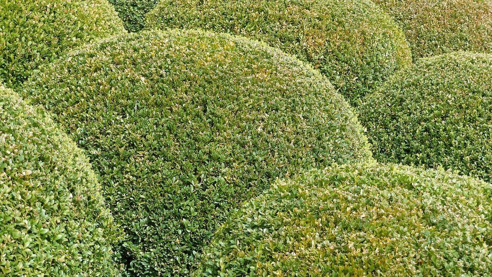 Buchsbaum Pflanzen überwintern Und Vermehren Sat1 Ratgeber