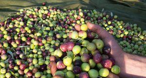 Vom Anbau bis zur Ernte und Weiterverarbeitung können Oliven mit Schadstoffen...