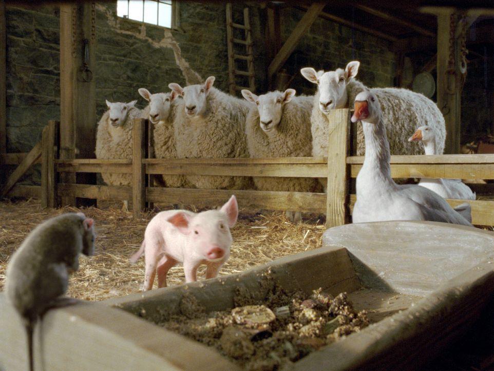 Auf der Zuckermann-Farm leben neben der Spinne Charlotte auch Schafe, die Gänse Golly und Gussy und die Ratte Templeton. Nullkommanichts hat sich W... - Bildquelle: CBS International Television (ehem: Paramount Pictures International)