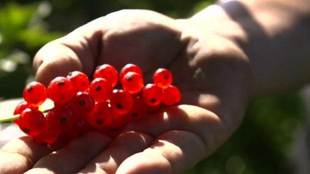 Freitag: Der Weg der Johannisbeere