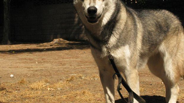 Cesar bringt einen großen Erfahrungsschatz im Umgang mit Hunden mit. Doch auc...