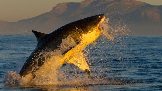 Das Jagdverhalten von Haien und Mantas steht heute im Mittelpunkt von