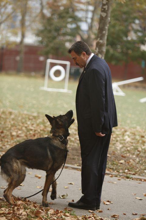 Einer der besten Polizeihunde der K-9-Einheit hat einen Jungen angegriffen. Frank (Tom Selleck) zweifelt jedoch an der Schuld des Hundes und kümmert... - Bildquelle: 2013 CBS Broadcasting Inc. All Rights Reserved.