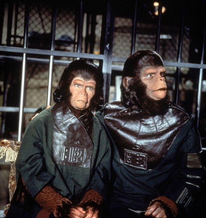 Die fremdartigen Affenwesen Cornelius (Roddy McDowall, r.) und Zira (Kim Hunter, l.) sind zunächst eine Sensation und werden von den Erdenbewohnern...