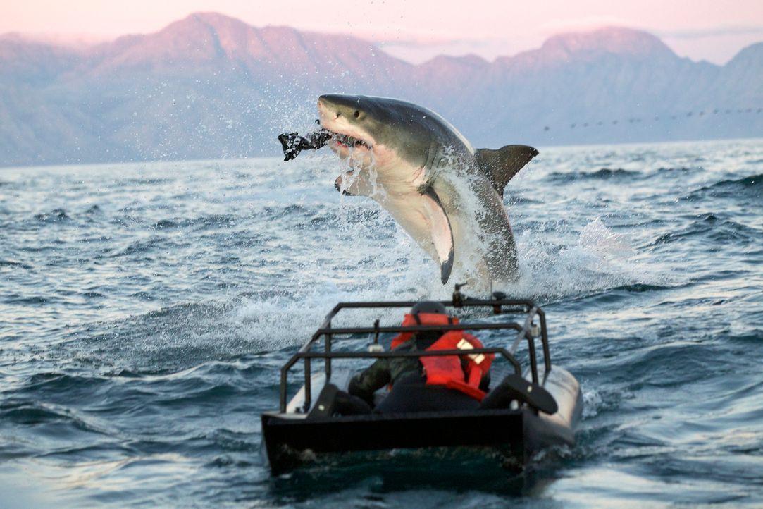 """""""Colossus"""" ist ein Riesenhai, mehr als vier Meter lang und 1,3 Tonnen schwer. Jeff Kurr ist dem Monsterhai, der in seinem Jagdrevier an der obersten... - Bildquelle: Chris Fallows Discovery Channel"""