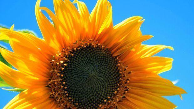 Sonnenblume-Blume-pixabay