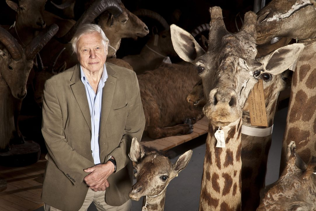Sir David Attenborough im Natural History Museum in London: Der britische Tierfilmer blickt zurück auf seine Erlebnisse in 60 Jahren Tierfilm rund u... - Bildquelle: Emilie Sandy BBC
