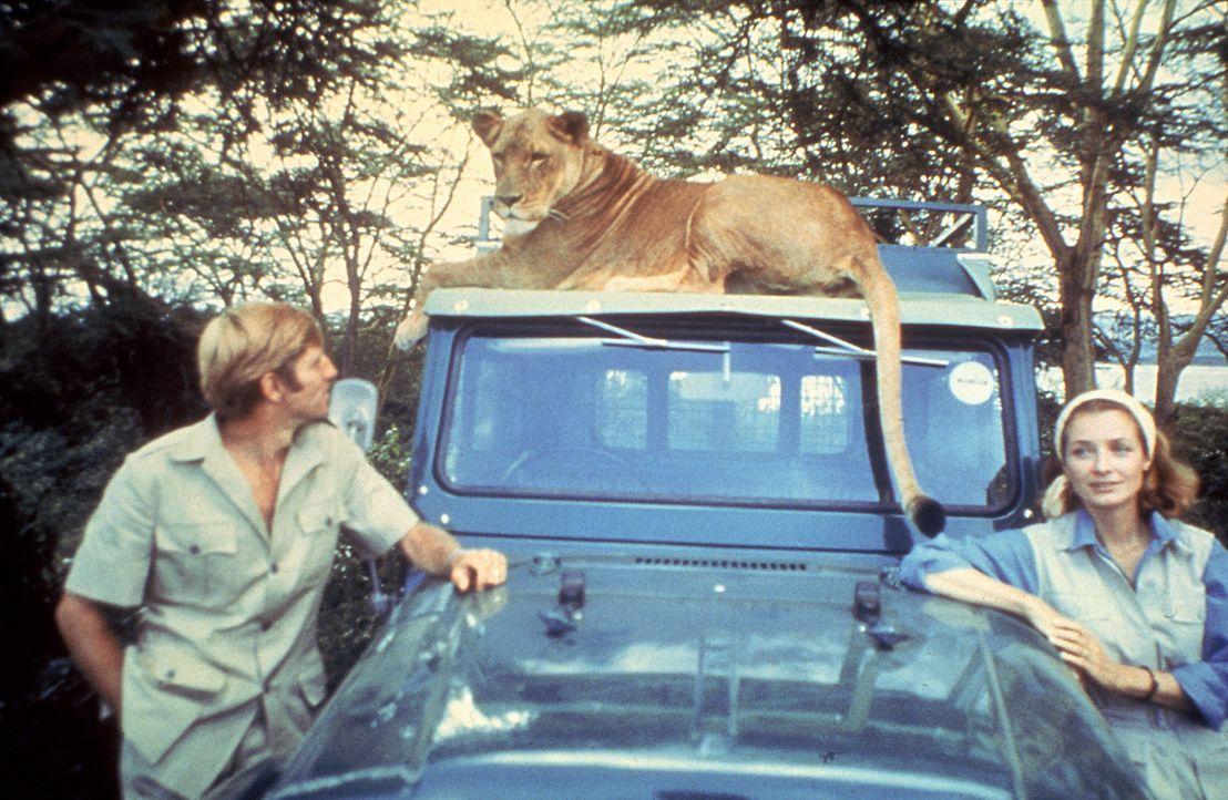 George (Bill Travers, l.) und Joy (Virginia McKenna, r.) sehen nach und nach die Notwendigkeit ein, Löwendame Elsa wieder in die Wildnis zu entlass... - Bildquelle: 1965, renewed 1993 Columbia Pictures Industries, Inc. All Rights Reserved.