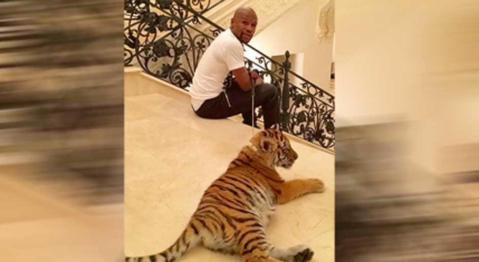 Mayweather bekommt ein Tiger-Baby - Bildquelle: floydmayweather/instagram