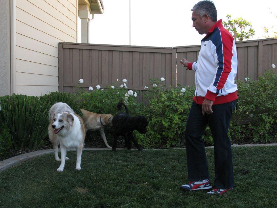 (6. Staffel) - Cesar Millan ist momentan der berühmteste und gefragteste Experte in Sachen Hundetraining. Aber hier geht es nicht nur darum, Hunde a... - Bildquelle: Rive Gauche Intern. Television