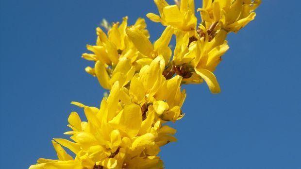 Forsythie-Pflanze-gelb-pixabay