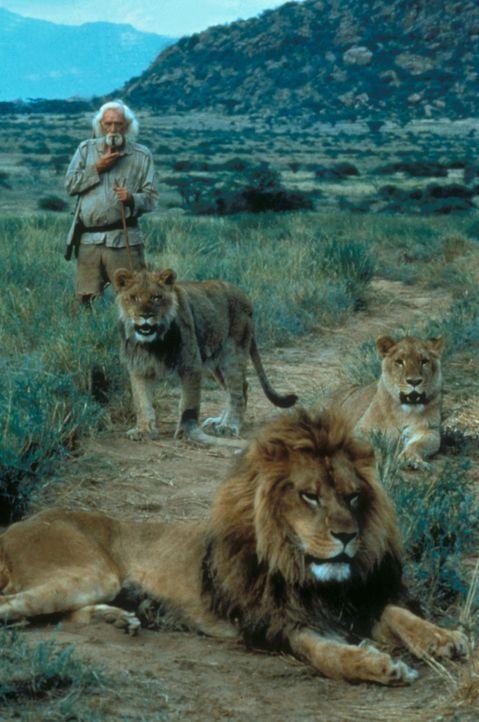 """Löwin Elsa und """"Herrchen"""" George Adamson (Richard Harris) bilden ein Dreamteam ... - Bildquelle: Spartan Home Entertainment"""