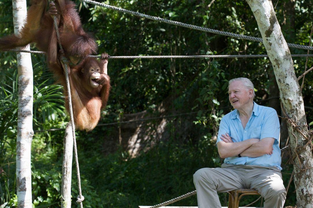 Tierischer Spaß: David Attenborough mit jungen Orang-Utan im Sepilok Rehabilitation Centre, Sabah, Malaysia - Bildquelle: Adam Scott Adam Scott