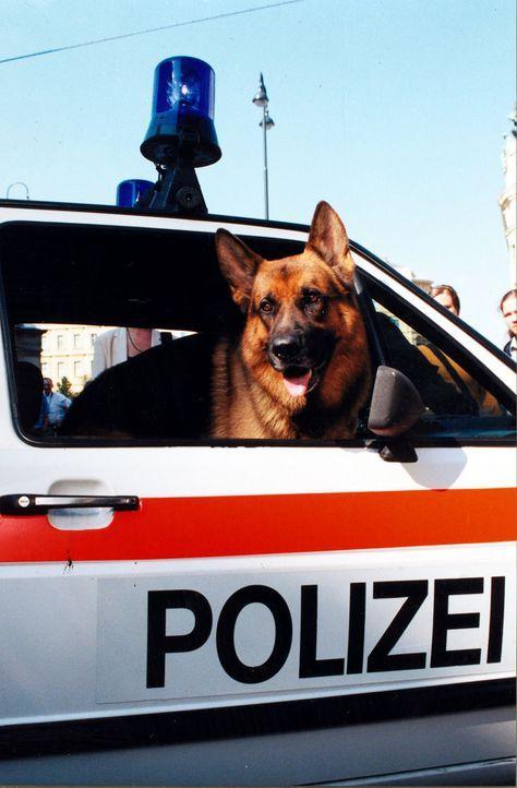 Rex im Polizeiauto - Bildquelle: Ali Schafler Sat.1