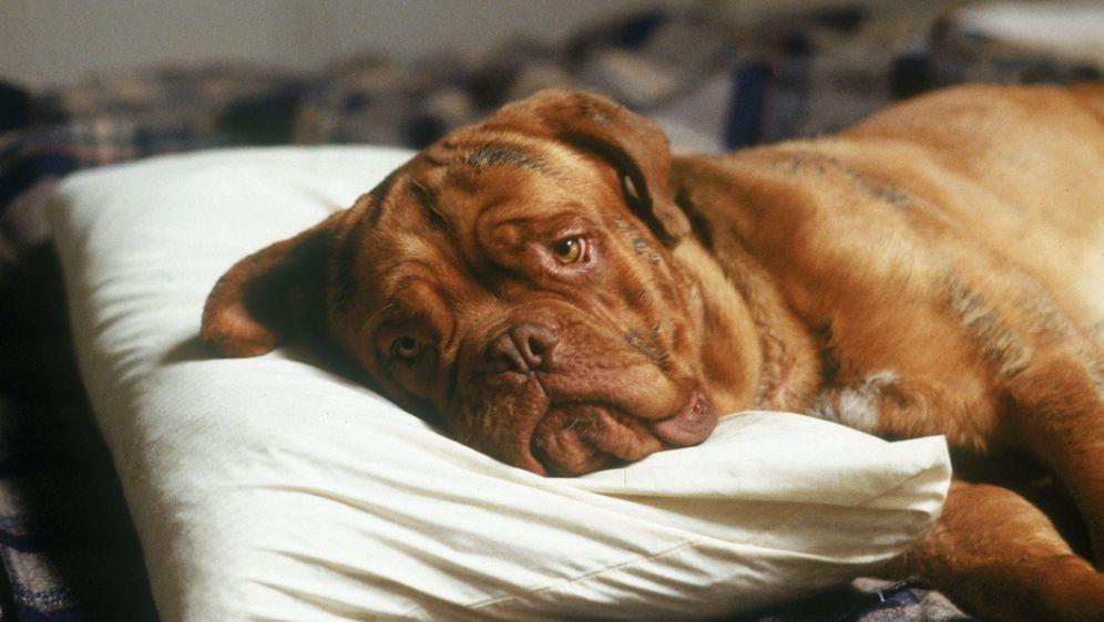 Scott & Huutsch - Eine Dogge zum Knutschen - Bildquelle: Touchstone Pictures