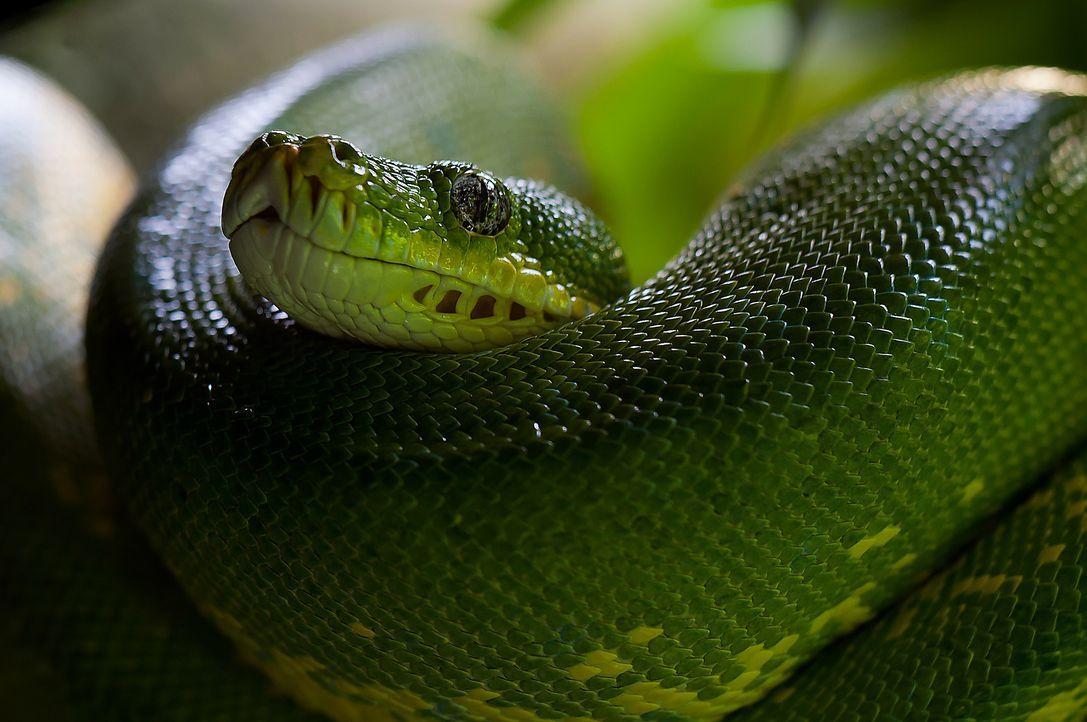 green-tree-python-226553_1920 - Bildquelle: Pixabay