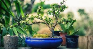 bonsai-klein