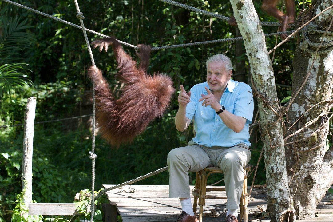 Tierischer Spaß: David Attenborough spielt mit einem jungen Orang-Utan im Sepilok Rehabilitation Centre, Sabah, Malaysia - Bildquelle: Adam Scott Adam Scott