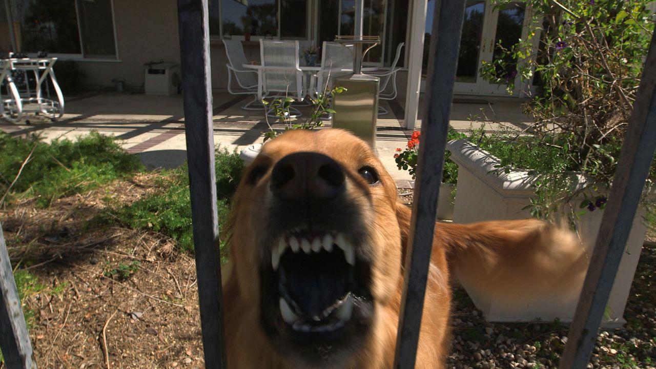 Der Golden Retriever Chow-Chow Mischling Leon macht es seinem Adoptivfrauchen nicht einfach. Kann Cesar hier wirklich helfen, den Hund unter Kontrol... - Bildquelle: NGC/ ITV Studios Ltd
