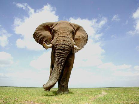Der Afrikanische Elefant gehört zu den beliebtesten und beeindruckensten Tier...