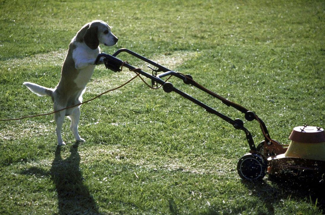 Um seiner Ehefrau seine Metamorphose aufzuzeigen, greift Klaus-der Hund zu ausgefallenen Methoden. Mit dem Rasenmäher versucht er, eine Botschaft in... - Bildquelle: Boris Guderjahn ProSieben