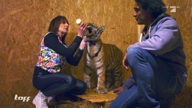 taff video l beck steht kopf diese familie hat einen tiger als haustier prosieben. Black Bedroom Furniture Sets. Home Design Ideas