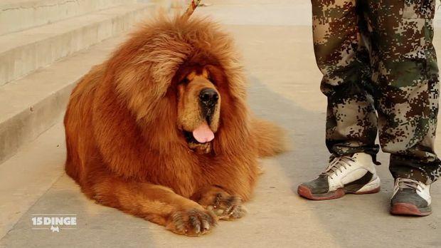 15 dinge video der teuerste hund der welt sat 1. Black Bedroom Furniture Sets. Home Design Ideas