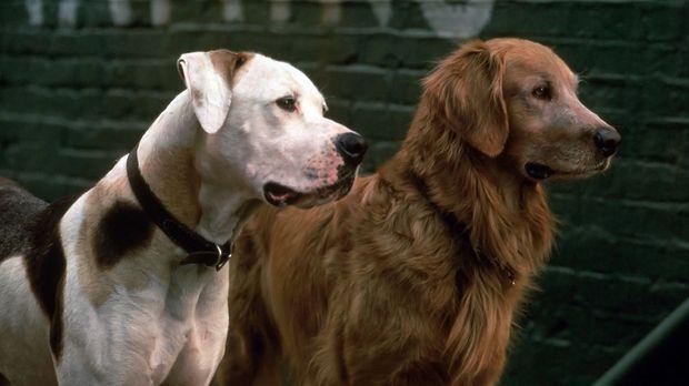 Viele aufregende Abenteuer warten auf Bulldogge Chance (l.) und Golden Retrie...