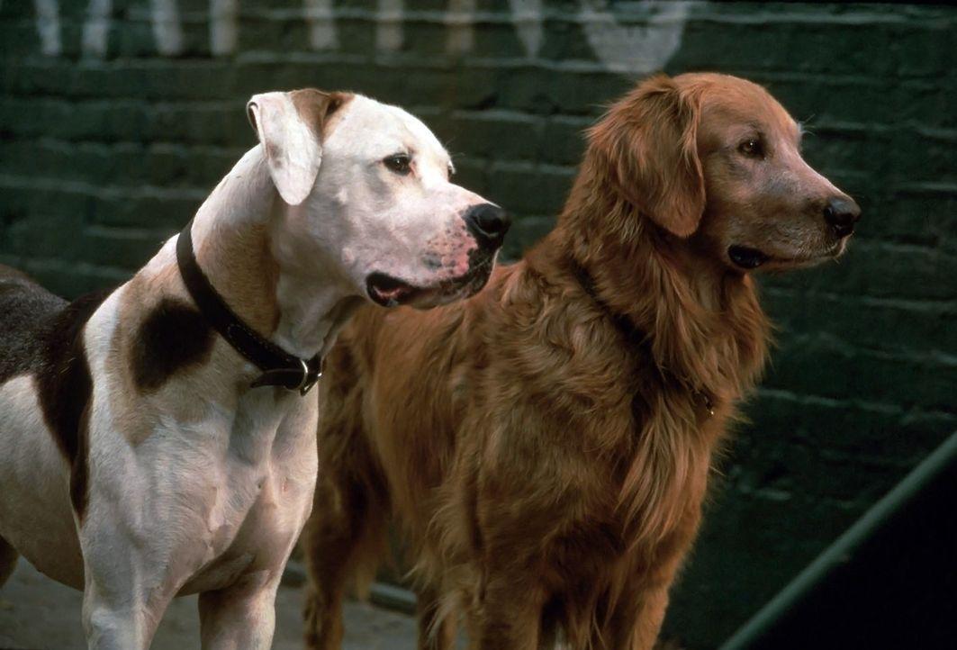 Viele aufregende Abenteuer warten auf Bulldogge Chance (l.) und Golden Retriever Shadow (r.) ... - Bildquelle: Walt Disney Pictures. All Rights Reserved.