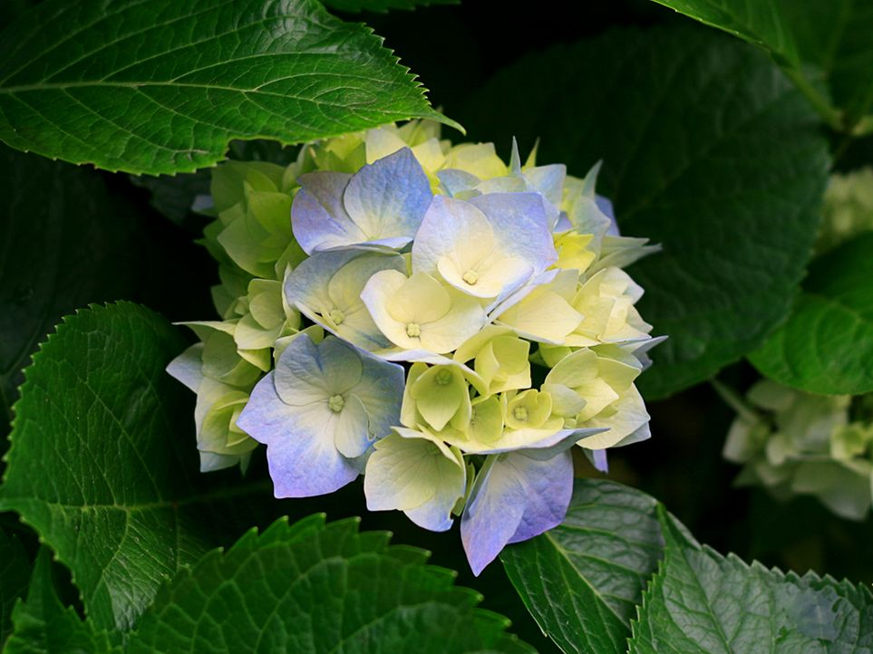 Hydrangeas - Bildquelle: © Microsoft Corporation
