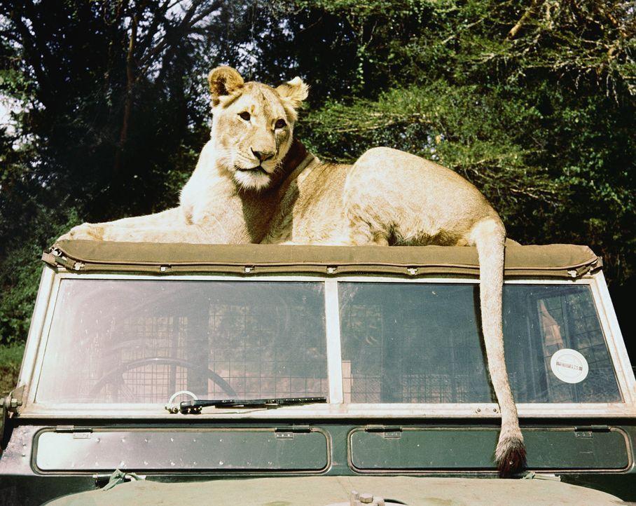 Ein Wildhüter-Ehepaar nimmt drei mutterlose Löwenbabies auf und zieht sie groß. Zu dem jüngsten, der Löwin Elsa (Bild), entsteht bald eine echte Ver... - Bildquelle: 1965, renewed 1993 Columbia Pictures Industries, Inc. All Rights Reserved.