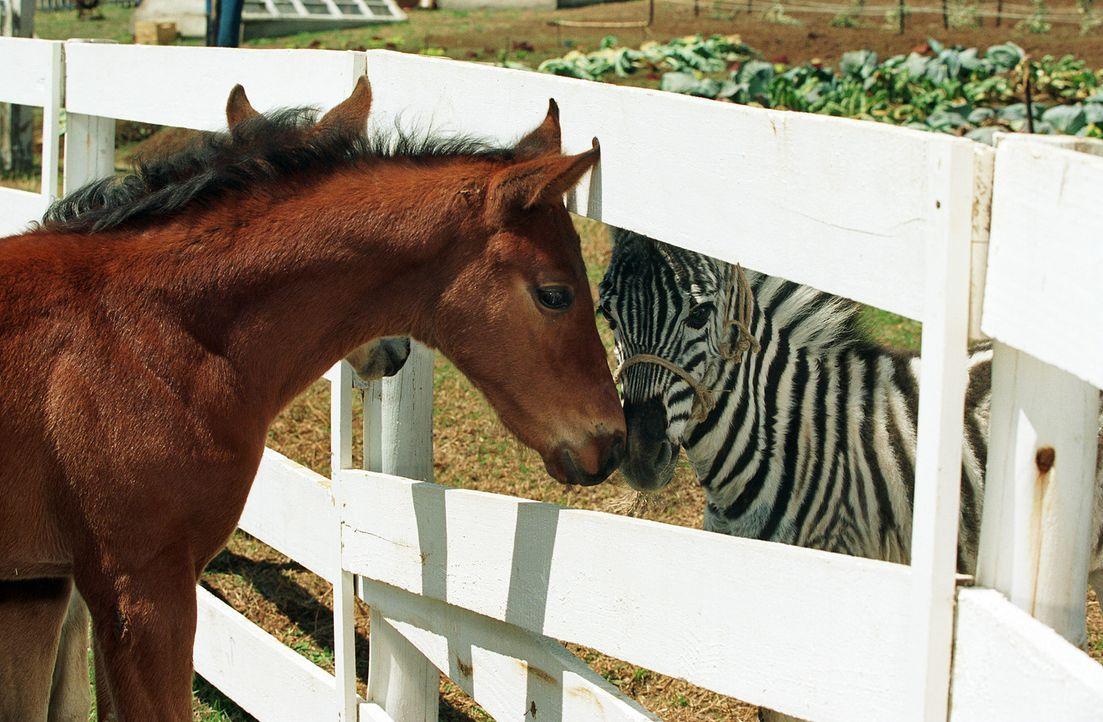 Zwischen all den Pferden auf der Farm glaubt Stripes (r.) natürlich bald, auch ein Pferd zu sein, und als es die nahe gelegene Rennbahn entdeckt, s... - Bildquelle: Constantin Film