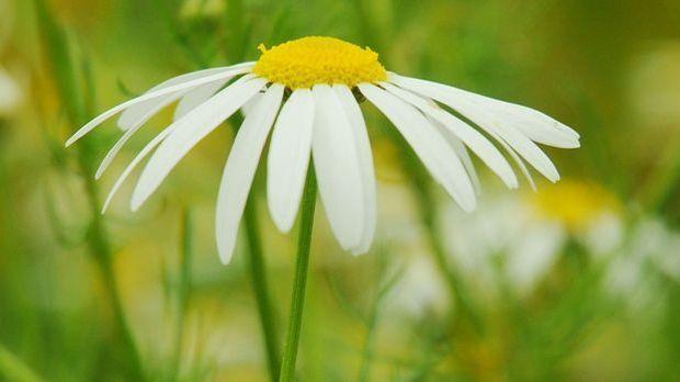Margerite-Blume-Weiß-pixabay