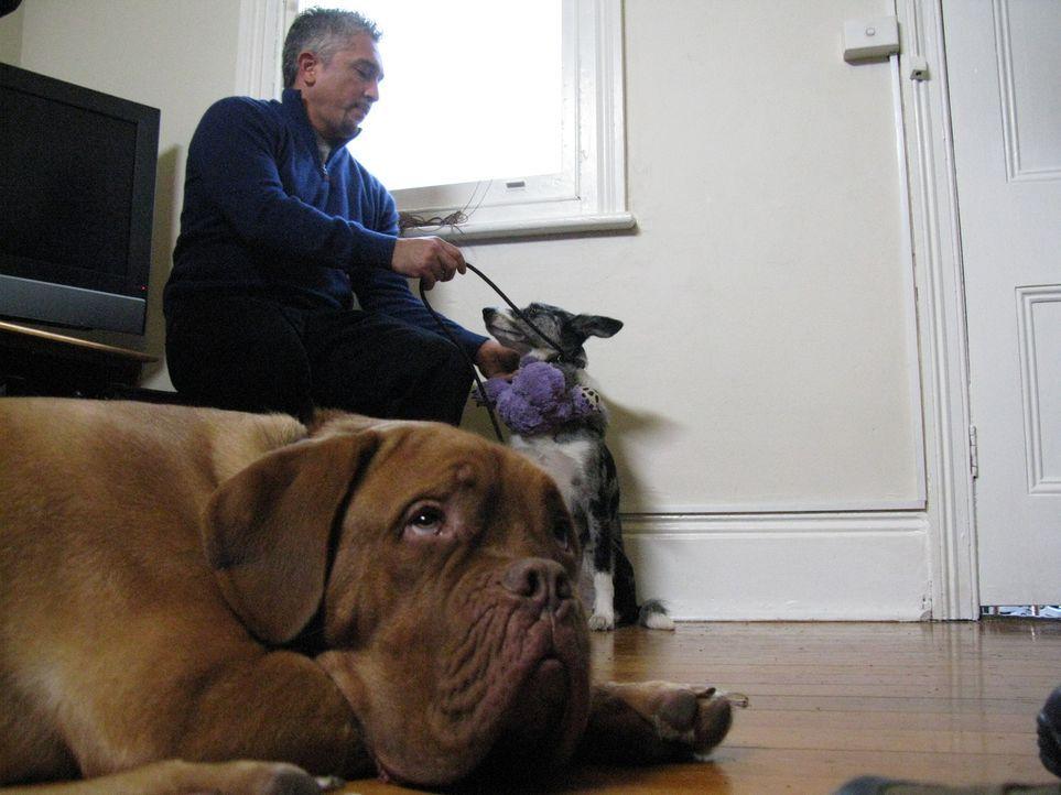 Cesar Millan macht sich auf den Weg nach Australien, um verzweifelten Hundebesitzern zu helfen und deren Vierbeiner von kleinen und großen Neurosen... - Bildquelle: 2014 Rive Gauche Television. All rights reserved.