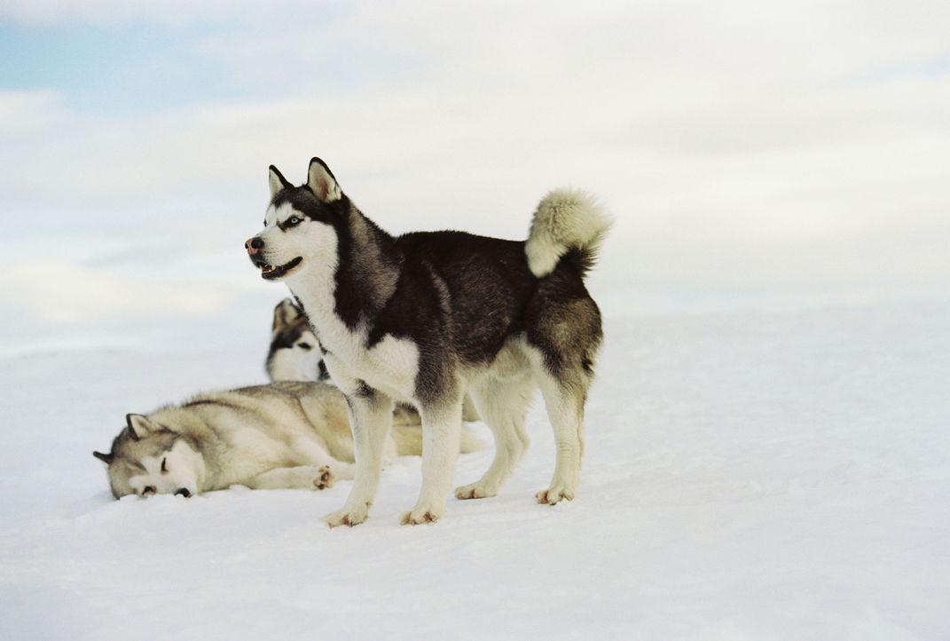 Ganz auf sich allein gestellt, beginnt im ewigen Eis der Antarktis für die Hunde ein verzweifelter Überlebenskampf ... - Bildquelle: Chris Large Walt Disney Pictures. All rights reserved.