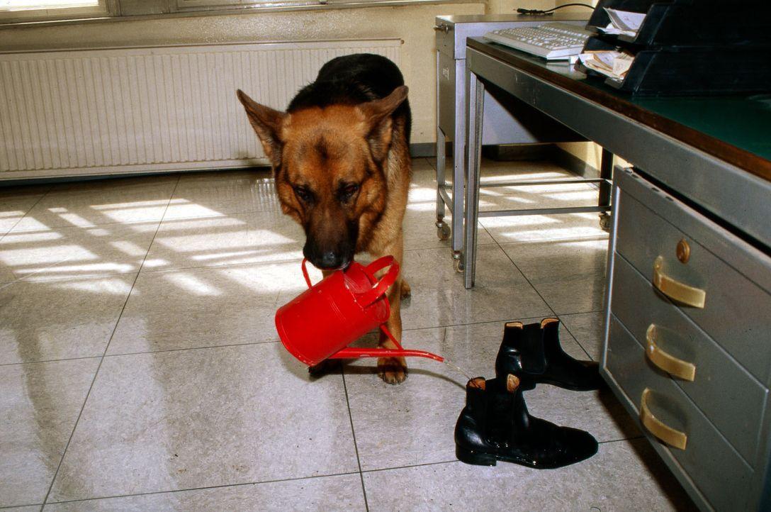 Rex gießt die Schuhe von Böck - warum bloß? - Bildquelle: Ali Schafler Sat.1