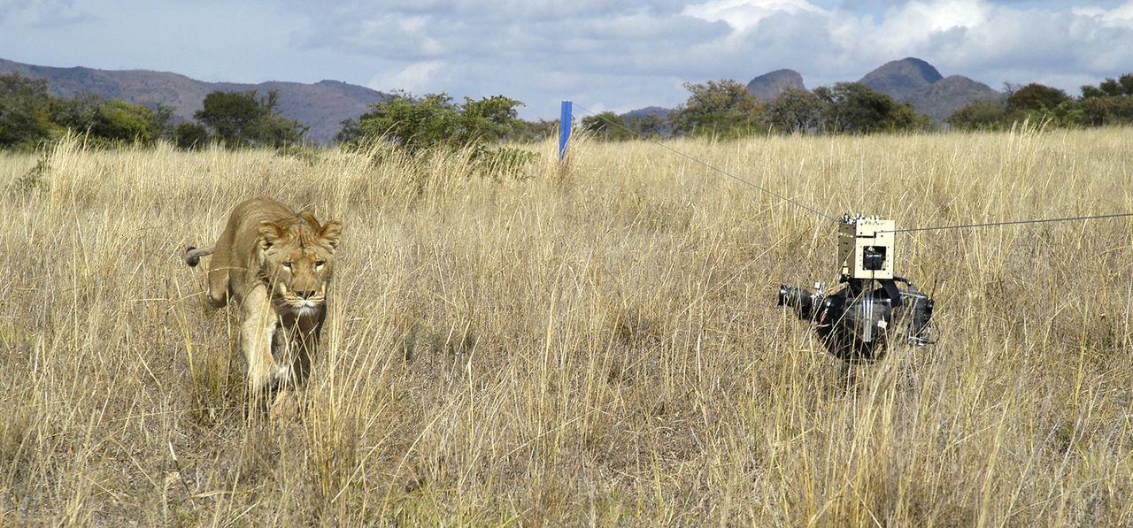 Der ferngesteuerte Kamera-Roboter kann das Leben der wilden Tiere hautnah festhalten, ohne sie in ihrem Verhalten zu beeinflussen ... - Bildquelle: John Downer Productions BBC/John Downer