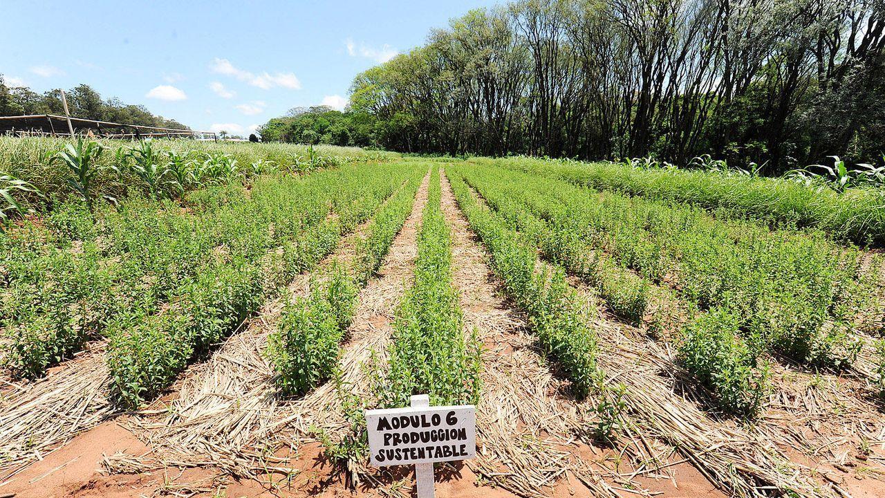 Stevia-Plantage - Bildquelle: AFP