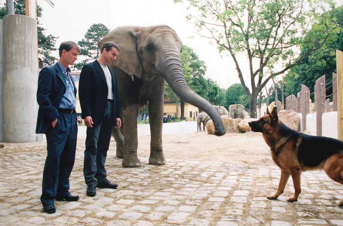 Kommissar Brandtner (Gedeon Burkhard, M.) und Böck (Heinz Weixelbraun, l.) fordern Rex auf, im Zoo die Spur des Verwandlungskünstlers zu verfolgen.