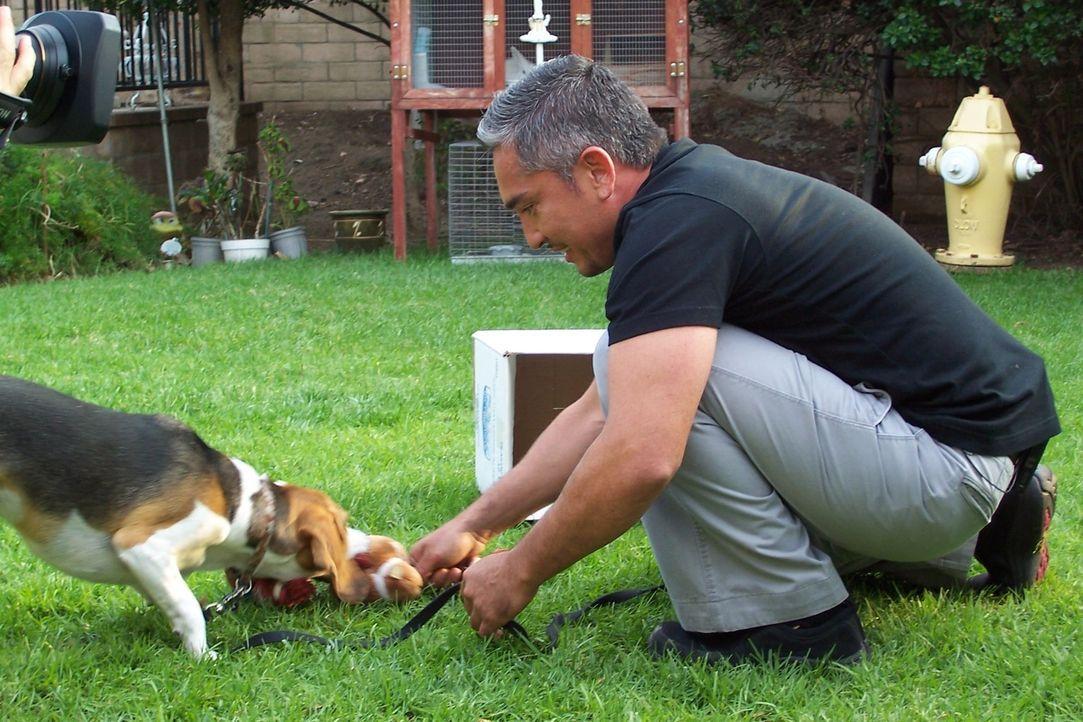 Cesar muss sich um Hündin Lady kümmern, die stets die Gäste ihres Frauchens verschreckt und klären, warum der Beagle Snoopy ohrenbetäubend laut jaul... - Bildquelle: Rive Gauche Intern. Television