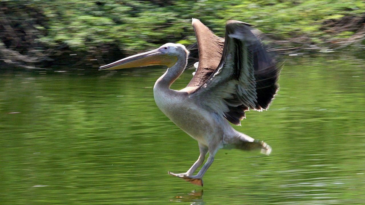 Pelikan - Bildquelle: dpa