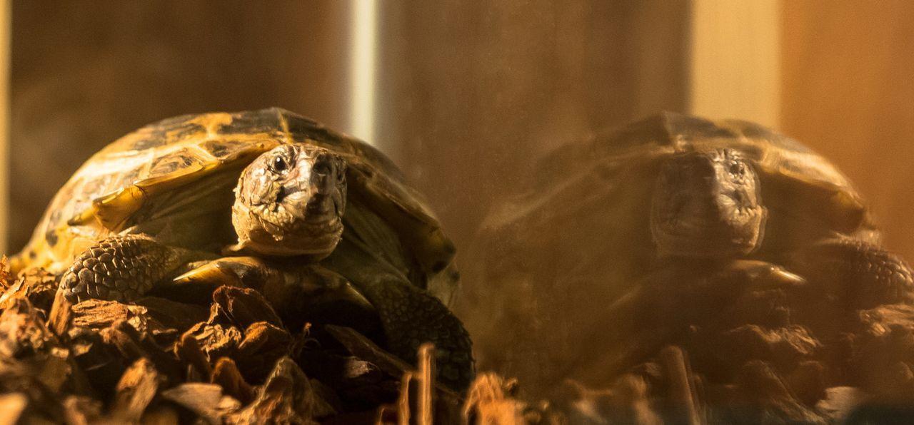 Sherlocks Schildkröte Clyde ... - Bildquelle: CBS Television